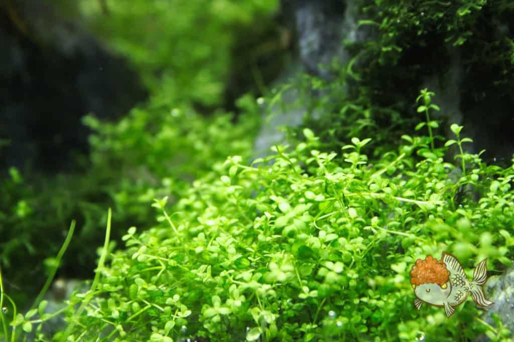 carpet aquarium plant