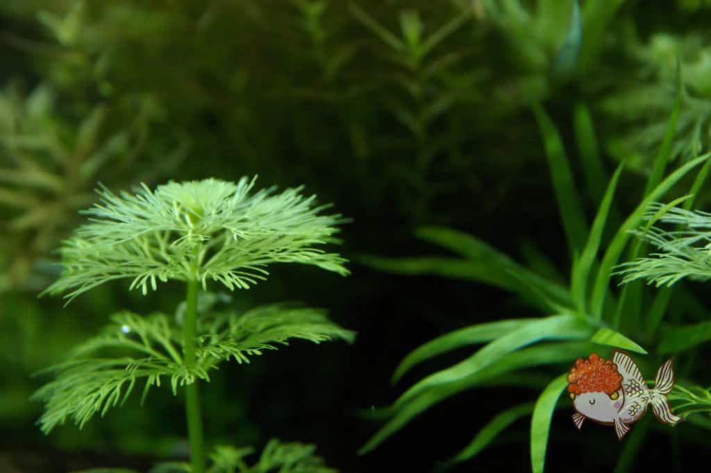 aquarium stem plants