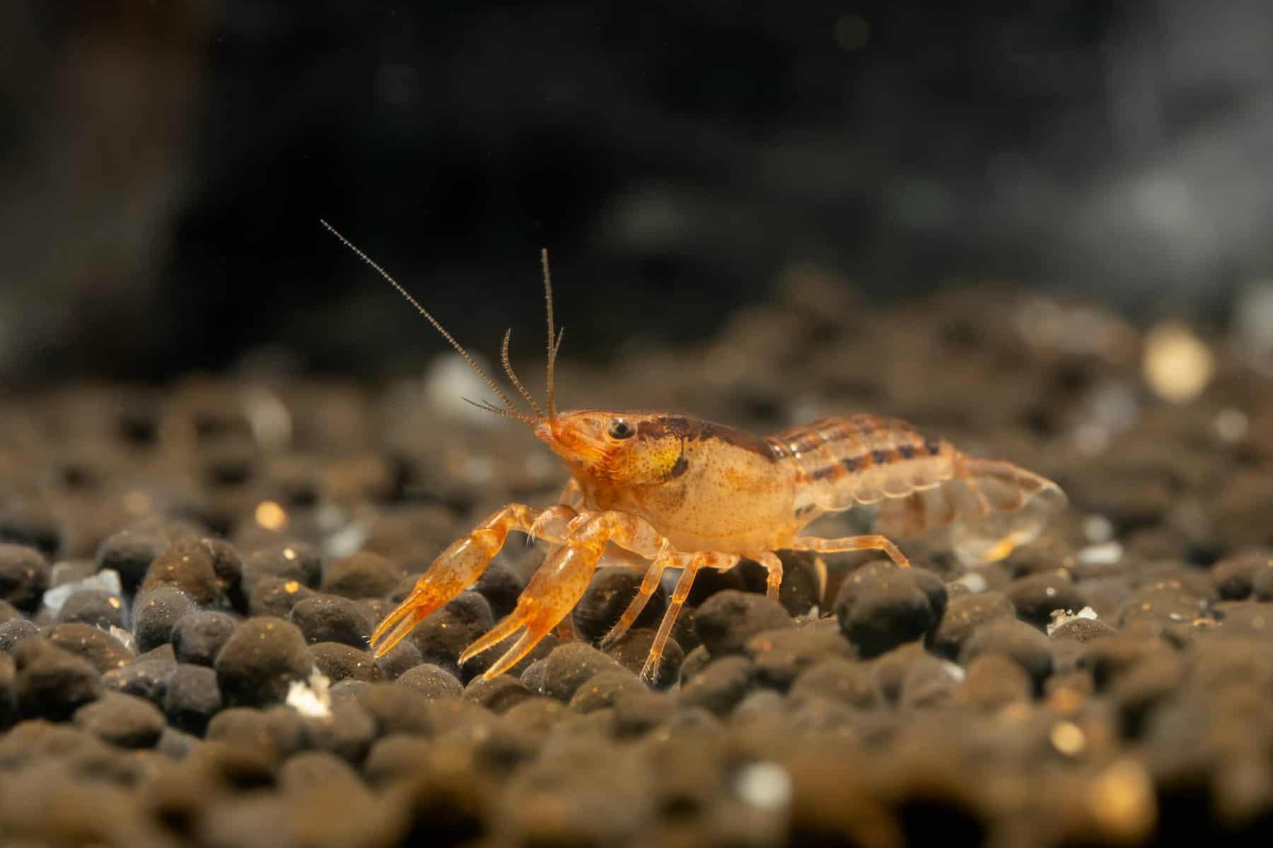 Dwarf Orange Crayfish