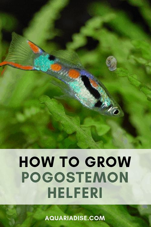 How to grow Pogostemon helferi in your aquarium #aquascapes #aquatic