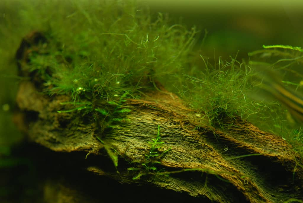 Green hair algae causes prevention algae removal for What causes algae in fish tanks