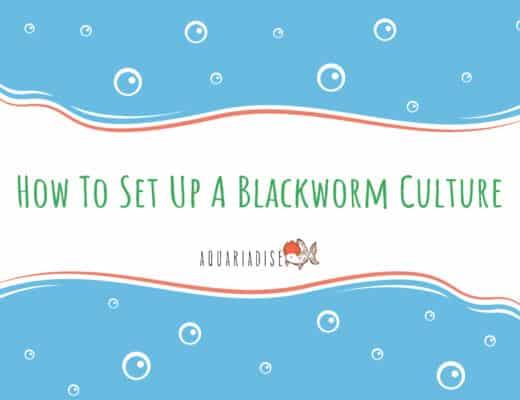 How To Set Up A Blackworm Culture