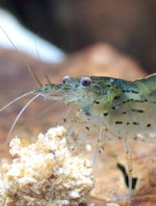 10 fascinating aquarium shrimp that you can keep in your fish tank! #aquatic #pets