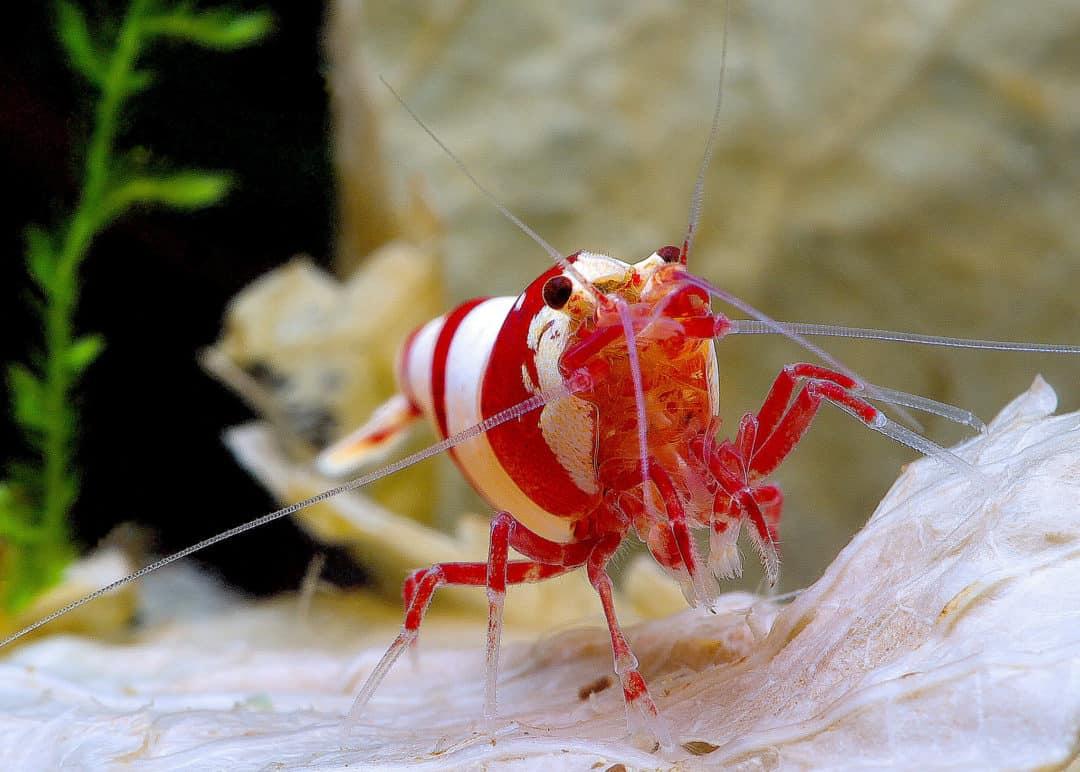 10 Freshwater shrimp species | Aquarium shrimp types ...Freshwater Shrimp