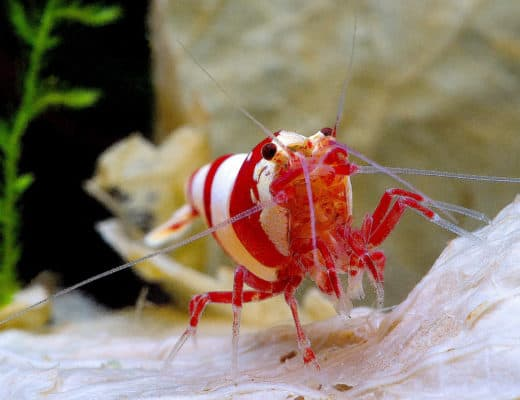 crystal red shrimp