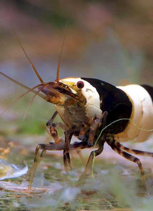 10 Freshwater shrimp species | Aquarium shrimp types ...