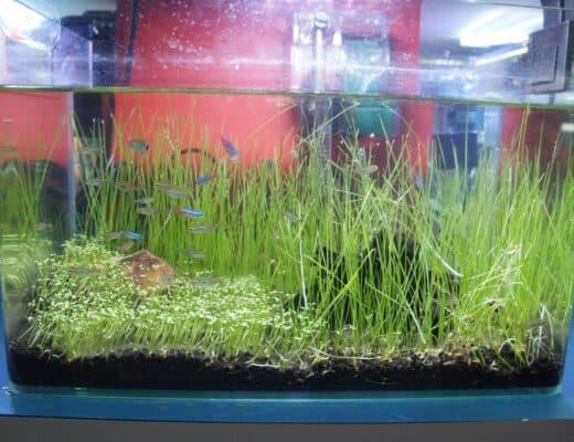 Growing Dwarf Hairgrass