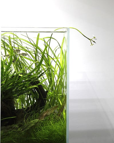 Growing dwarf hairgrass | Eleocharis parvula care & info
