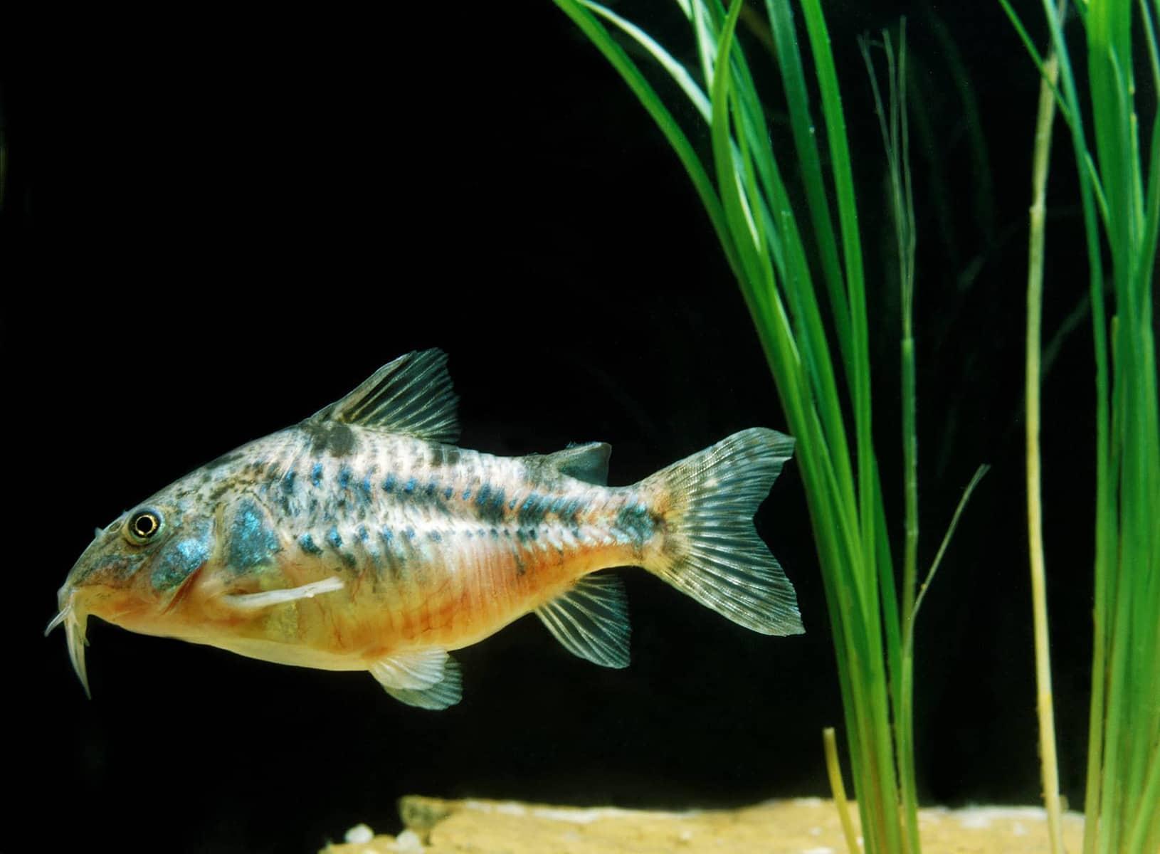 Bronze Cory Catfish