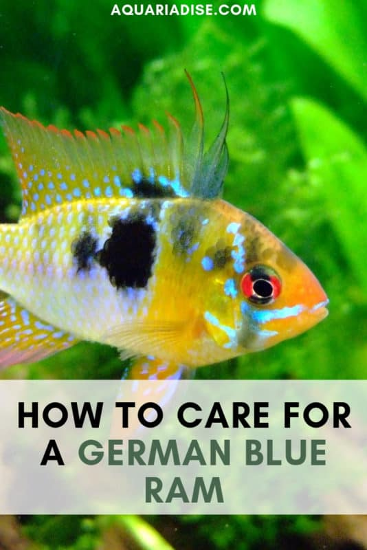 In need of a pop of color in your aquarium? You'll love the neon-bright German blue ram cichlid (Mikrogeophagus ramirezi). Find out how to care for this dwarf cichlid! #aquariums #fish