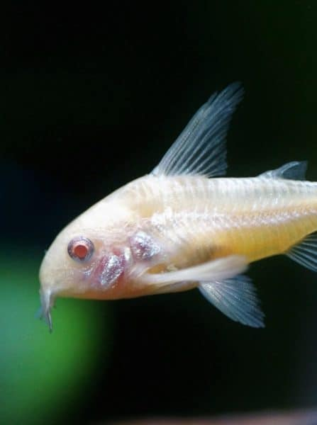 Cory catfish are the kittens of the aquarium. Find out how to make sure yours thrive!
