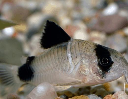 Corydoras catfish care & info