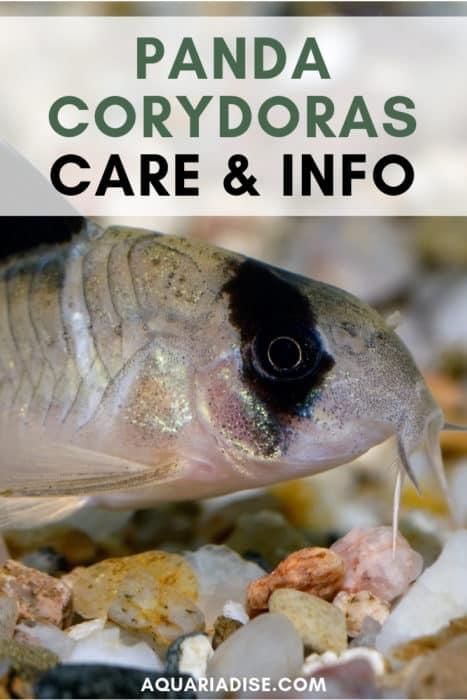 Does your aquarium need some life? You'll love the cheerful panda Corydoras! #aquariums #fish