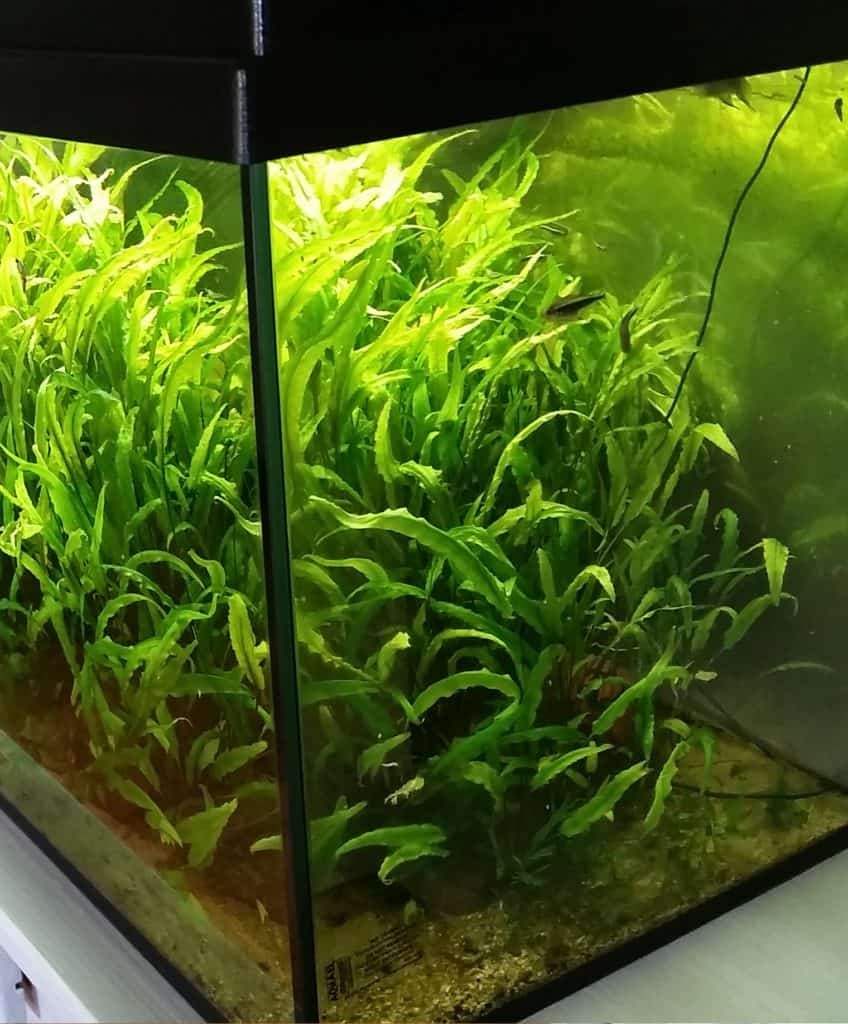 9 low light plants for your aquarium - no high tech or fancy equipment needed! #aquariums