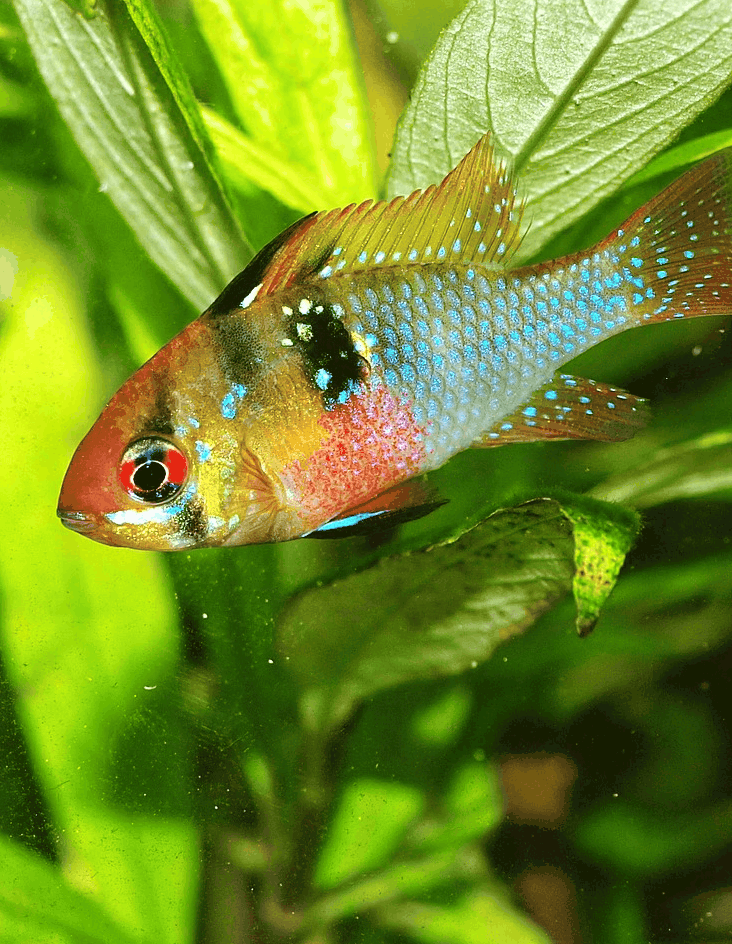 Wondering what a German blue Ram requires to thrive in your aquarium? The blue Ram caresheet contains everything you need to know.