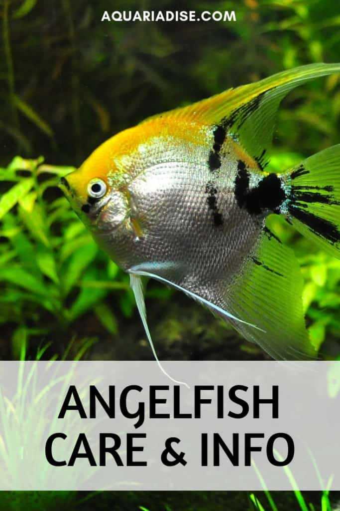 Wondering how to keep your angelfish happy and healthy? Head over to the <a href=