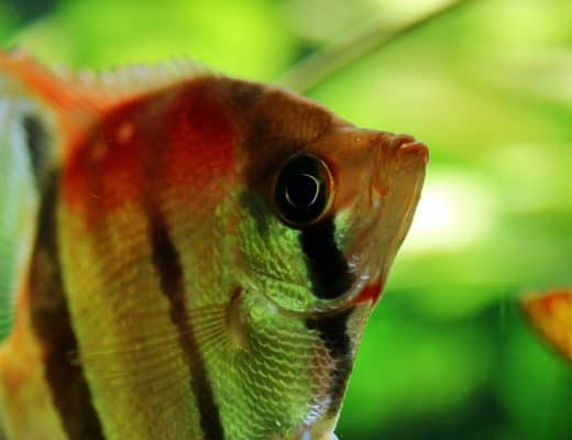 Wondering how to keep your angelfish happy and healthy? Head over to the angelfish caresheet for the basics. #aquariums