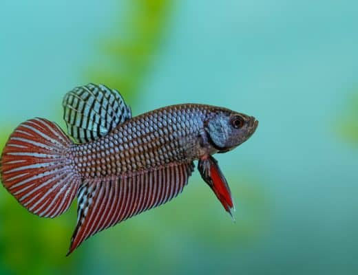 Where do Betta fish live in the wild? And how did they arrive in our homes? This article explains it all.