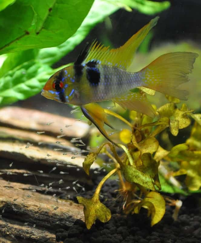 Looking to set up a South American biotope aquarium? These 6 South American cichlids are perfect for beginners! #aquariums