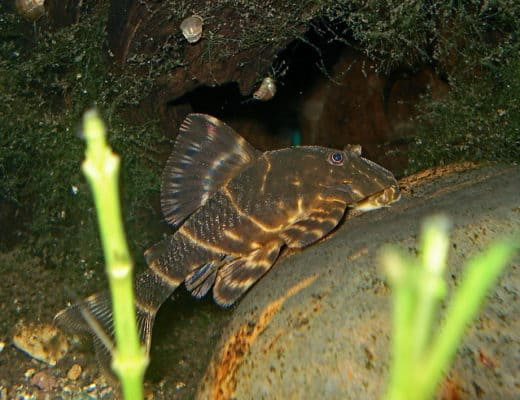 Clown Pleco | Panaqolus maccus care & info