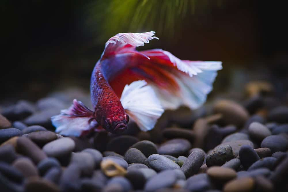 How long do Betta fish live? If you're wondering how long you can expect your beloved Betta to be with you and what affects Betta fish lifespan, this article will help.