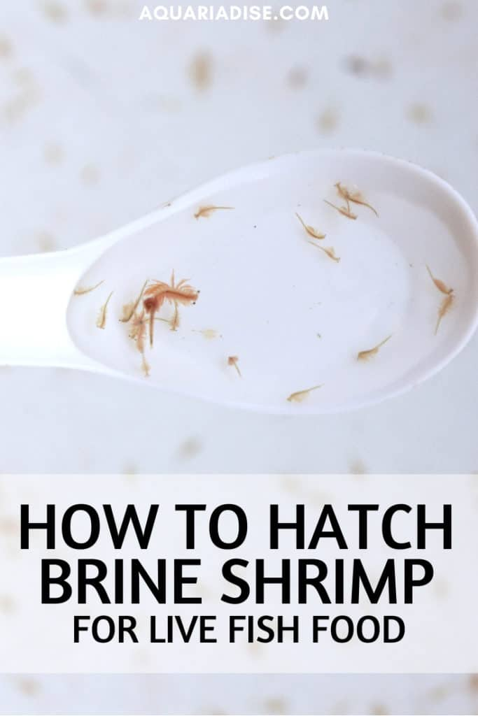 Looking for an easy live food option for your aquarium fish that you can culture at home? Brine shrimp are the solution!