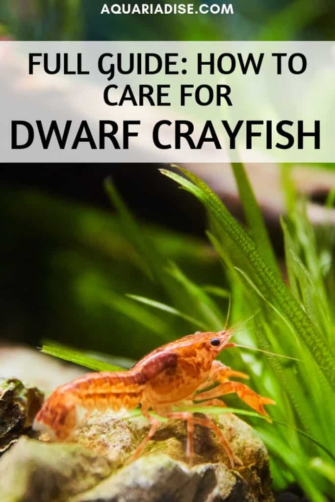 In need of some life in your nano aquarium? One of the various dwarf crayfish species might be the perfect choice. #aquariums