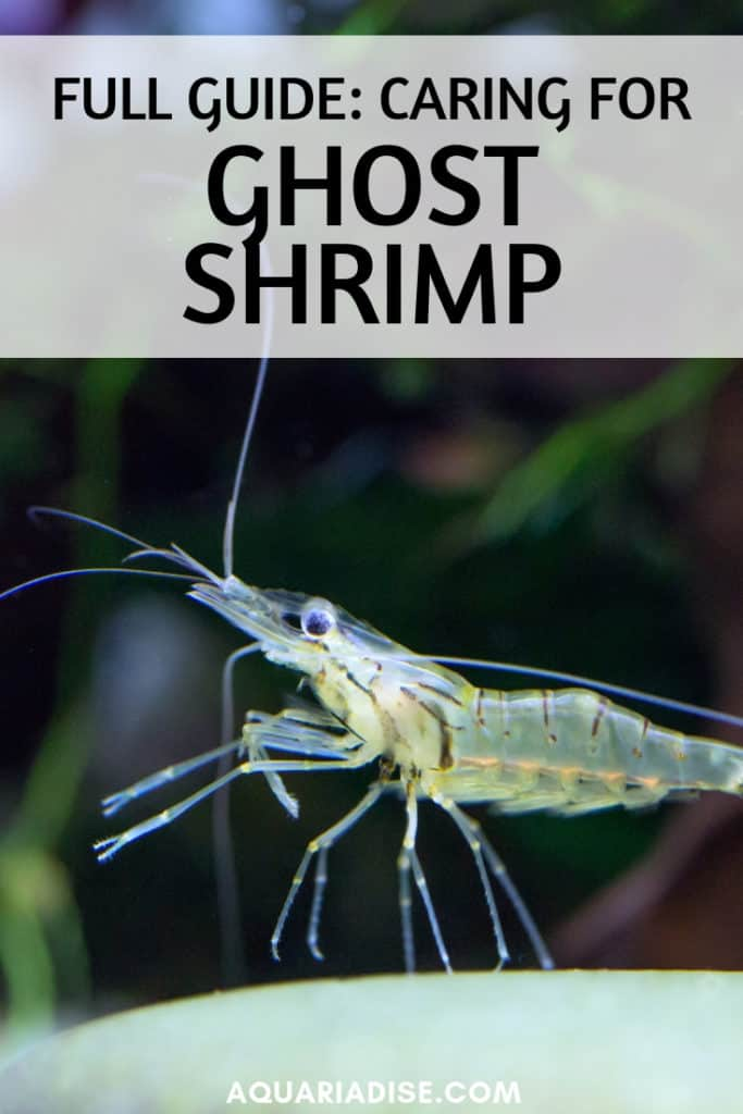They're often used as live food but actually make fun aquarium pets as well. Find out everything you need to know about ghost shrimp! #aquariums
