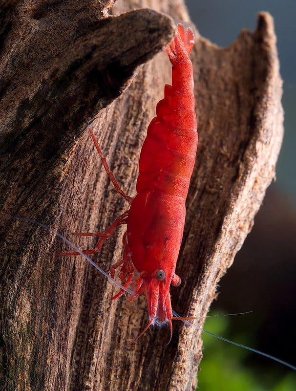 All about Cherry shrimp | Full Neocaridina davidi caresheet!