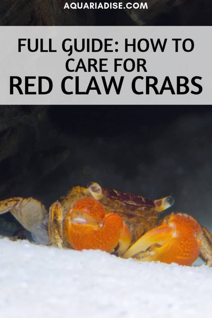 The funky red claw crab is the perfect species for a brackish paludarium. The red claw <a href=