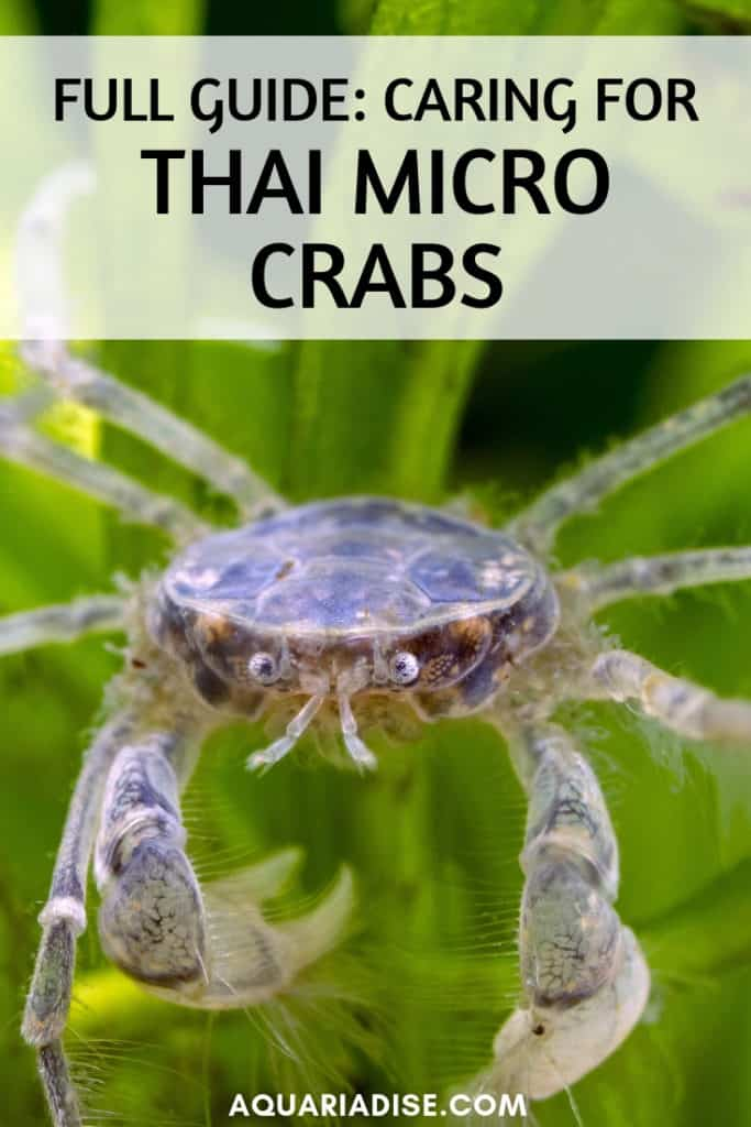 A fully freshwater crab for the aquarium that's as tiny as your fingernail? Head over to the Thai micro crab caresheet to find out what that's all about! #aquariums