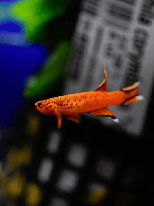 Wondering which fish species you can keep in your nano aquarium? These 7 mini <a href=