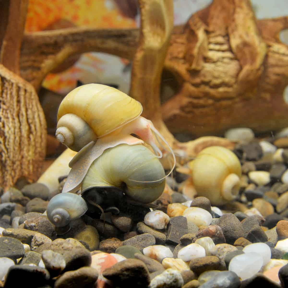 Snails in freshwater aquariums make exceptional pets.