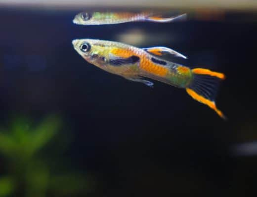 How to Care for Bright Colored Endlers Livebearers