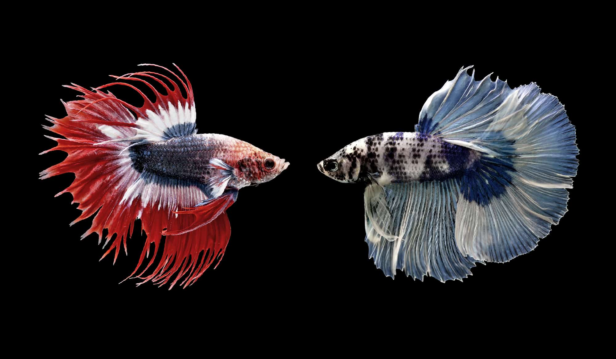 King Betta Fish