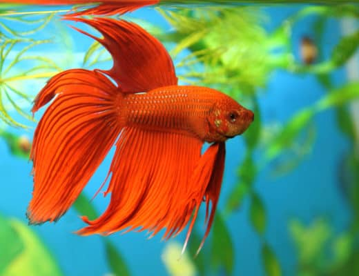 The Need to Know's of a King Betta