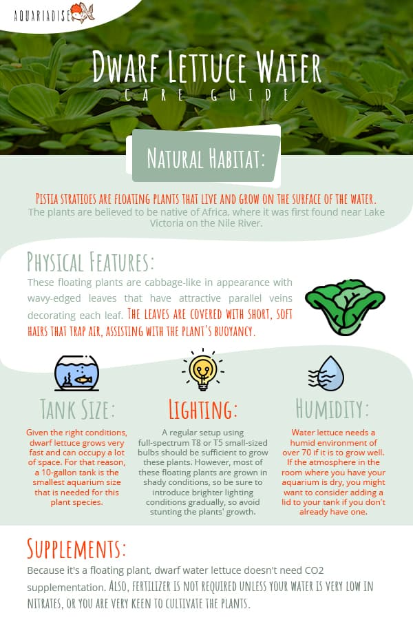 Dwarf Lettuce Water Care Guide