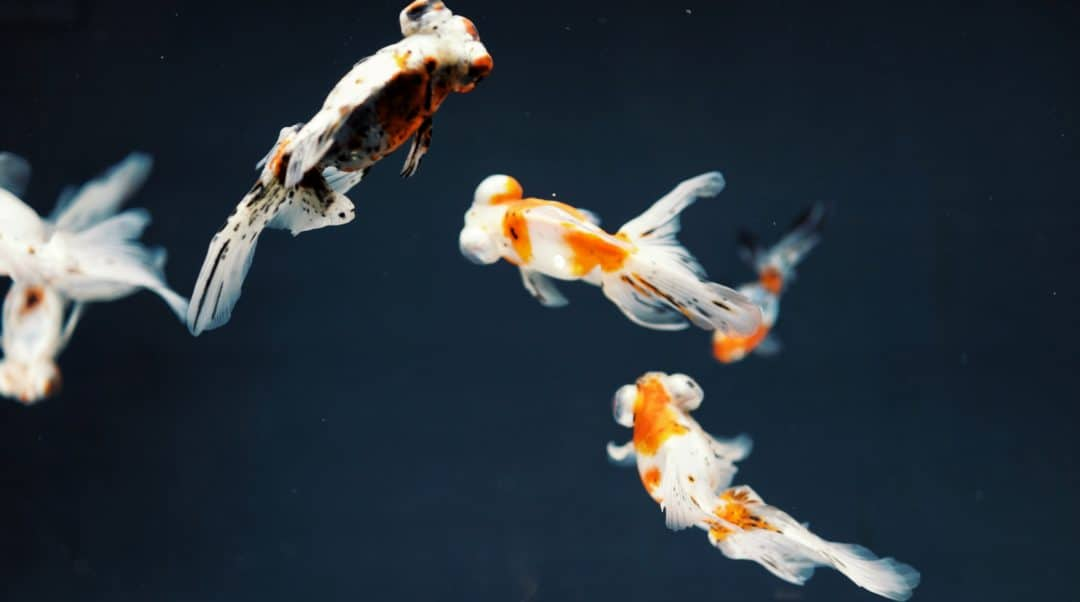 Types of Goldfish: Single and Double-Tailed