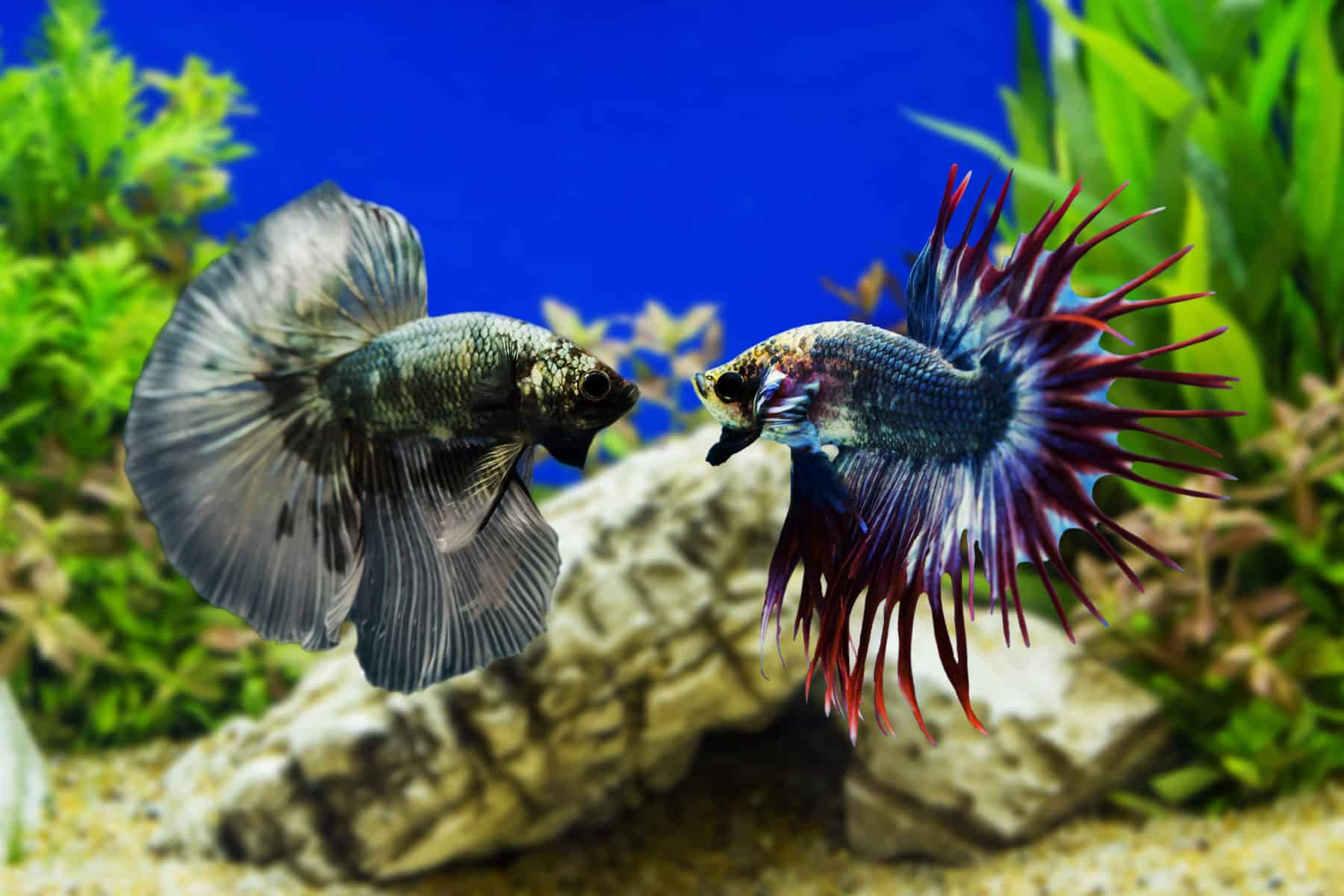 How To Care For A Black Orchid Betta