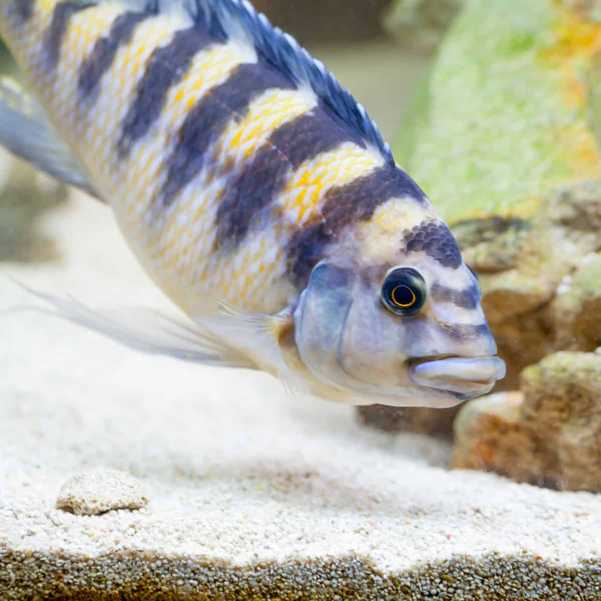 How to Best Care for a Bumblebee Cichlid