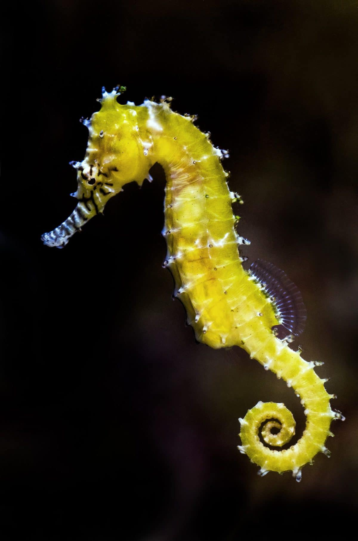 Freshwater Seahorse: How to Care for the Non-Marine Species