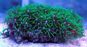 How to Grow and Care for Green Star Polyps