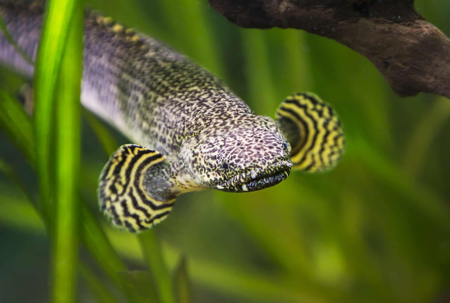 Ornate Bichir The Complete Care Guide Aquariadise