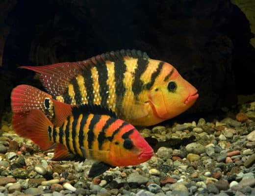Ultimate Care Guide for Red Terror Cichlid
