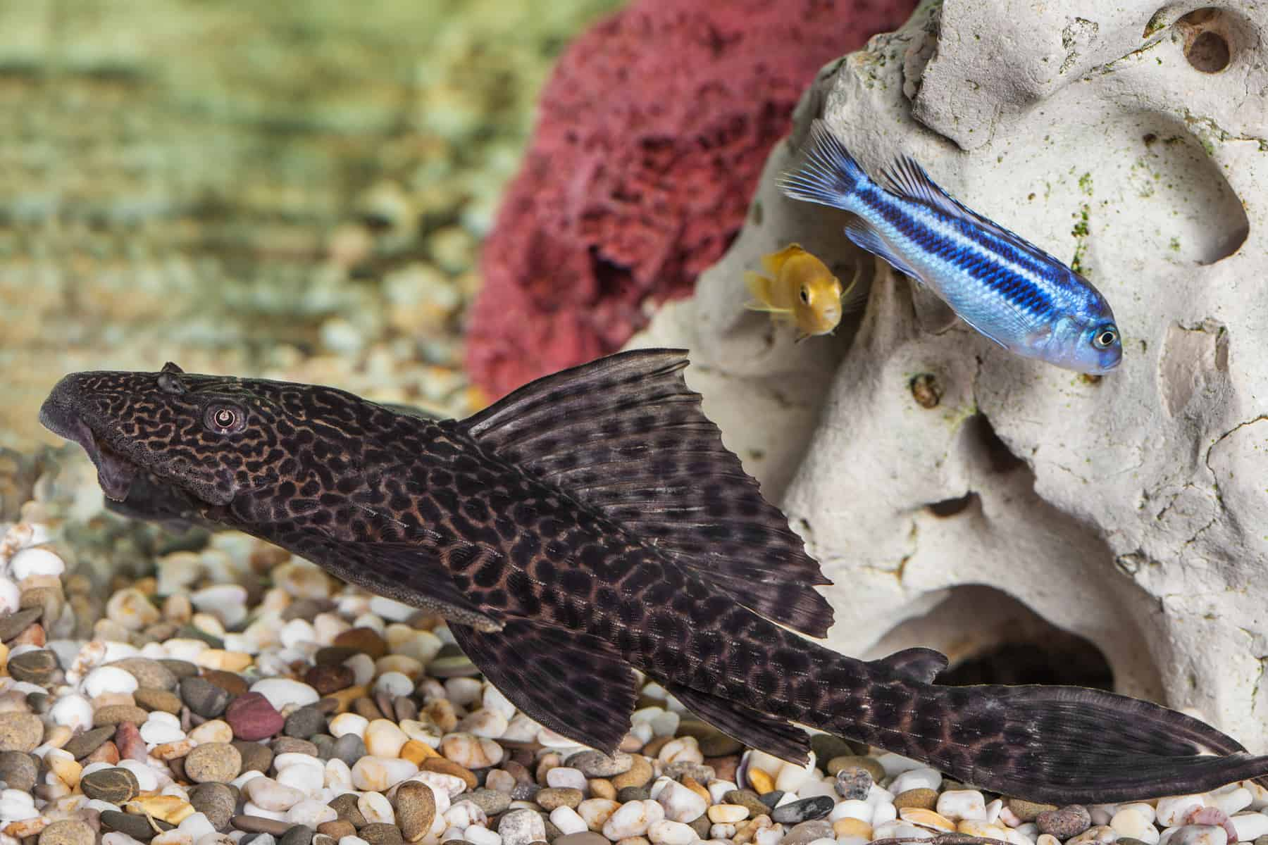How To Best Care For A Rubber Lip Pleco