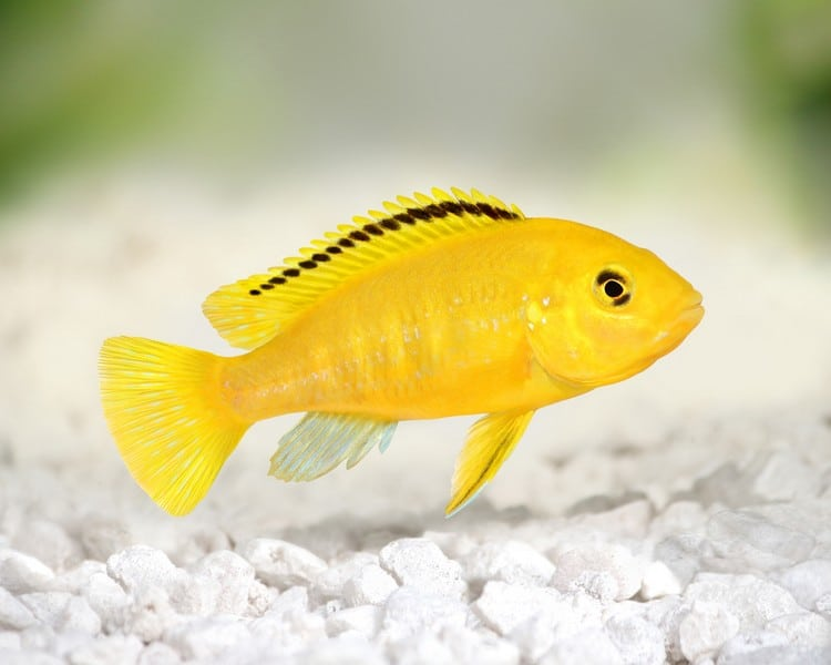 How to Best Care For a Yellow Lab Cichlid
