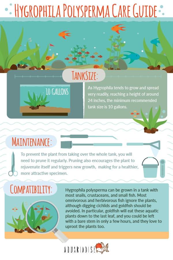 Hygrophila Care Guide