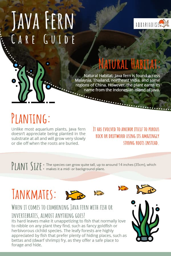Java Fern Care Guide