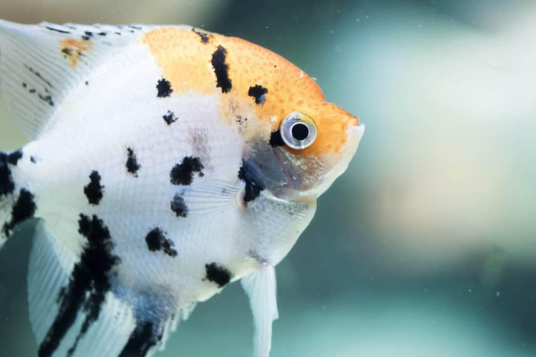 Angelfish Tankmates