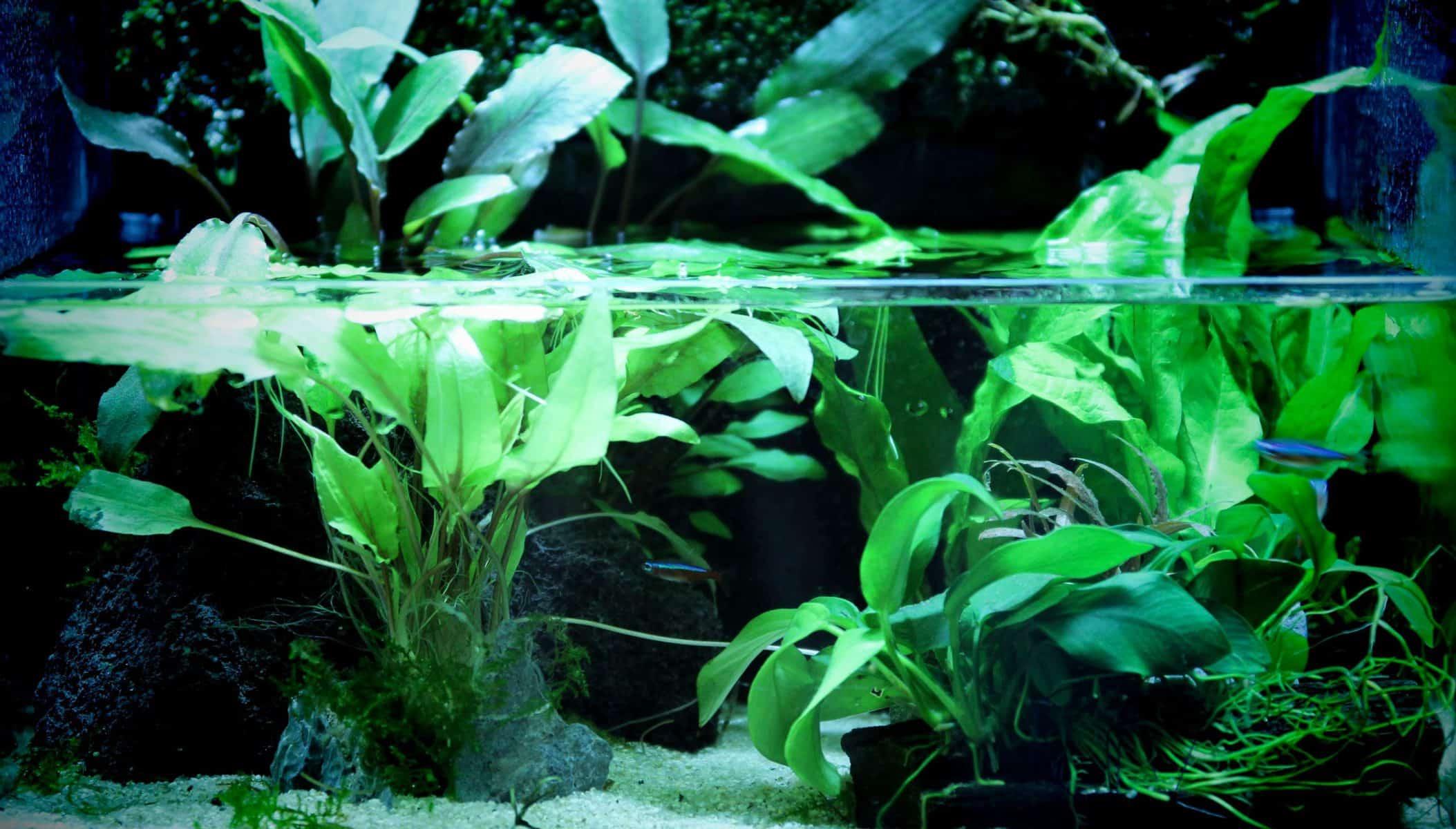 Aquarium Plants: Coontail
